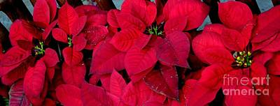 Poinsettia Mural Print by Mary Deal