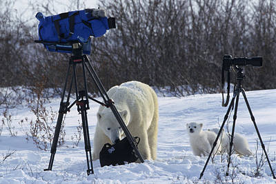 Polar Bear And Cubs With Cameras Print by Jean-Louis Klein & Marie-Luce Hubert