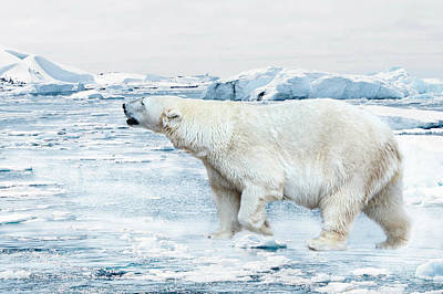 Bear Photograph - Polar Bear by Heike Hultsch