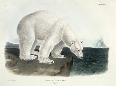 Audubon Painting - Polar Bear by John James Audubon