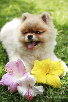 Hawaii Dog Photograph - Pomeranian Puppy And Hibiscus by Brandon Tabiolo - Printscapes