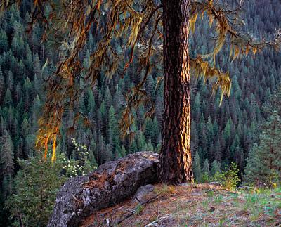 Ponderosa Pine Print by Leland D Howard