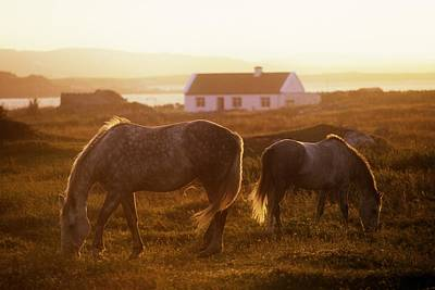 Photograph - Ponies Grazing In A Field, Connemara by The Irish Image Collection