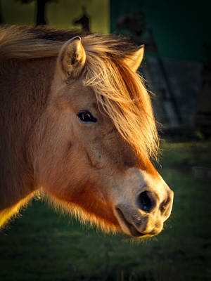 Shetland Pony Photograph - Pony Portrait by Jean Noren
