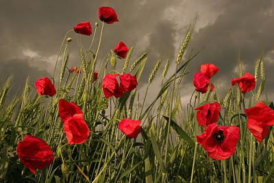 Poppy Field Before The Storm Print by Floriana Barbu
