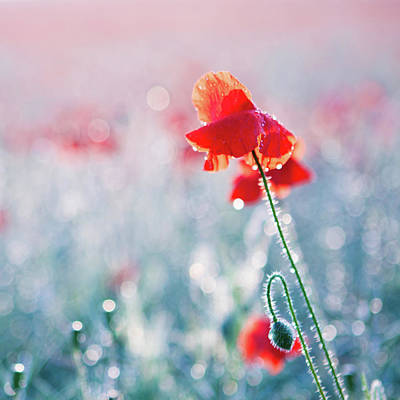 In Focus Photograph - Poppy Field In Flower With Morning Dew Drops by Sophie Goldsworthy