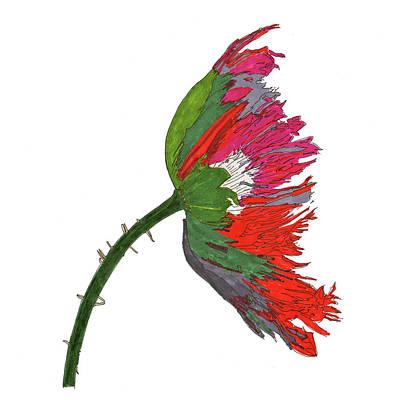 Poppies Drawing - Poppy In Bloom by Jack Pumphrey