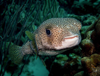 Porcupine Fish Print by Jean Noren