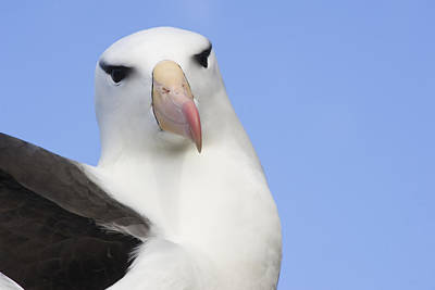 Portrait Of A Black-browed Albatross Print by Daisy Gilardini