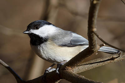 Fall Photograph - Portrait Of A Chickadee by Benjamin DeHaven