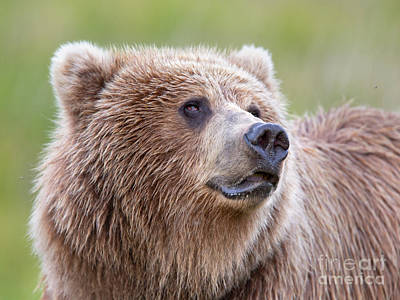 Portrait Of A Grizzly Print by Richard Garvey-Williams