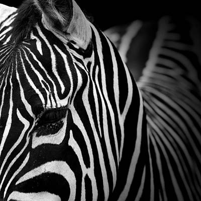 Of Zebras Photograph - Portrait Of Zebra In Black And White V by Lukas Holas