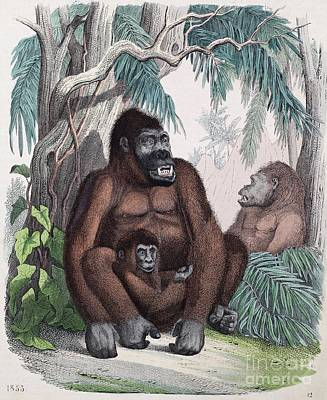 Possible First Gorilla Illustration Print by Paul D. Stewart