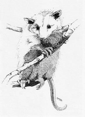 Marsupial Drawing - Possum Up A Tree by Suzanne McKee