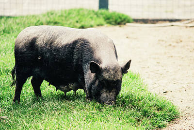 Potbelly Pig On Grass Print by Pati Photography