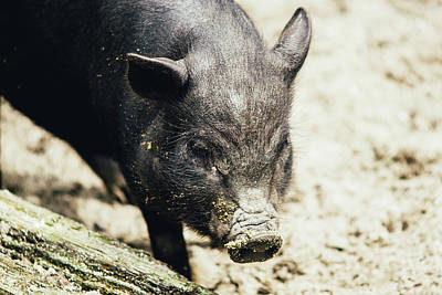 Potbelly Piglet Portrait Print by Pati Photography