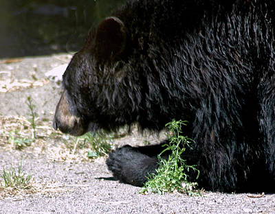 Bear Photograph - Praying Black Bear Reno Nv by LeeAnn McLaneGoetz McLaneGoetzStudioLLCcom