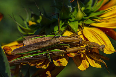 Bugs Photograph - Praying Mantis Family by Linda  Howes