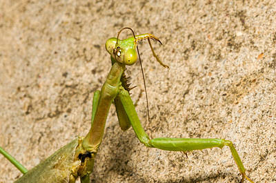 Macro Photograph - Praying Mantis On The Attack by Stevan Sims