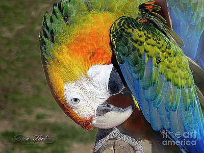 Design Photograph - Preening Macaw by Melissa Messick