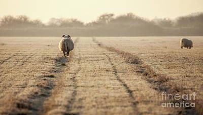 Ram Horn Photograph - Pregnant Sheep Walking The Track by Simon Bratt Photography LRPS