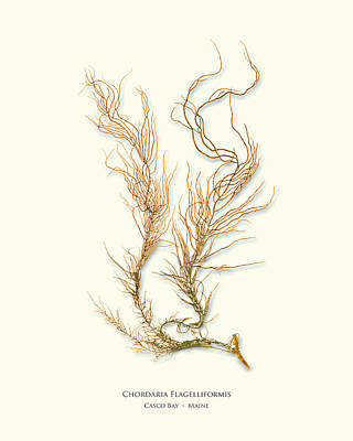 Epiphyte Mixed Media - Pressed Seaweed Print, Chordaria Flagelliformis, Casco Bay, Maine. by John Ewen