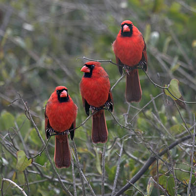 Cardinals. Wildlife. Nature Photograph - Pretty As A Picture by Betsy C Knapp