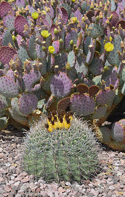 Desert Photograph - Prickly Pear Blooms by Aimee L Maher Photography and Art Visit ALMGallerydotcom