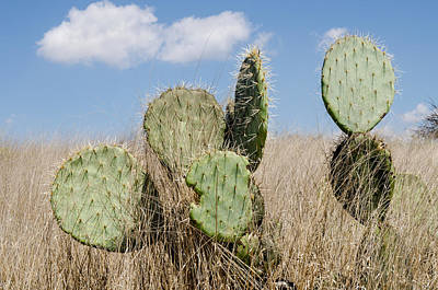 Getty Photograph - Prickly Pear Cacti In The Grass. by Rob Huntley