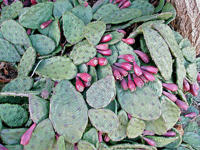 Prickly Pear Cactus Fruits Print by Mother Nature