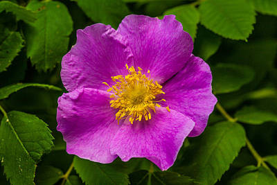 Prickly Wild Rose Photograph - Prickly Wild Rose by Le Phuoc