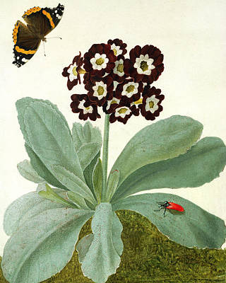 Primula Auricula With Butterfly And Beetle Print by Matilda Conyers
