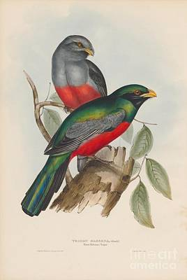 Up Painting - Prince Massena's Trogon by Celestial Images