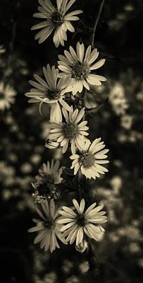 Aster Photograph - Pristine Petals by Mary Ellen Frazee
