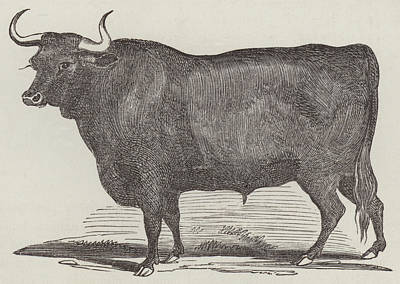 Cow Drawing - Prize Devon Ox by English School