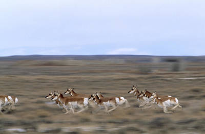 Pronghorns Race Across A Section Print by Joel Sartore