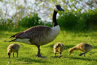 Toronto Photograph - Protective Parent Canada Goose With Three Goslings On Toronto Is by Reimar Gaertner