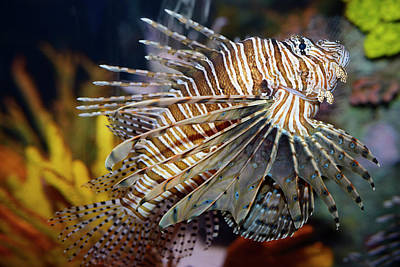 Fish Photograph - Pterois Volitans Called A Red Lionfish With Venomous Spiky Fin R by Reimar Gaertner