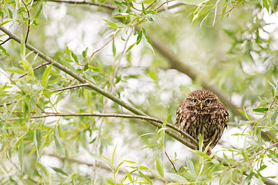 Puffed Up Little Owl In A Willow Tree Print by Roeselien Raimond