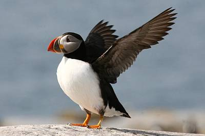 Puffin Photograph - Puffin Impersonating An Eagle by Stanley Klein