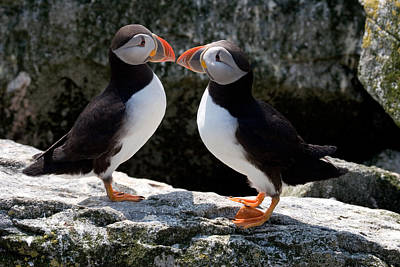 Puffin Love Print by Brent L Ander