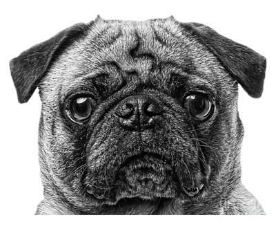 Cute Puppy Photograph - Pug T-shirt by Edward Fielding
