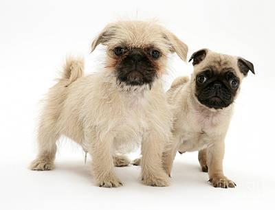 Pugzu And Pug Puppies Print by Jane Burton