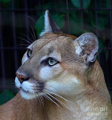 Cheetah Mixed Media - Puma-2 by Robert Pearson
