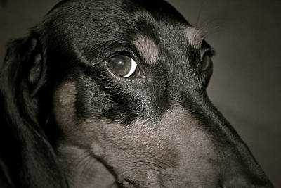 Dauschund Photograph - Puppy Dog Eyes by Melissa Chambers