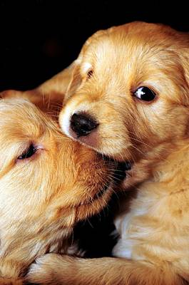 Golden Retriever Photograph - Puppy Love by Laura Mountainspring