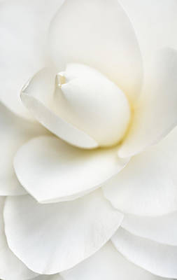 Camellia Photograph - Purity by Mary Jo Allen