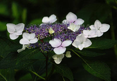 Purple And White Lacecap Hydrangea In Pastel Print by Suzanne Gaff