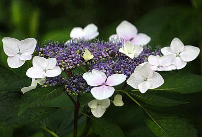 Purple And White Lacecap Hydrangea In Watercolor Print by Suzanne Gaff