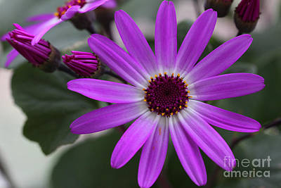 Purple Cineraria Flower And Buds 2016 Print by Karen Adams